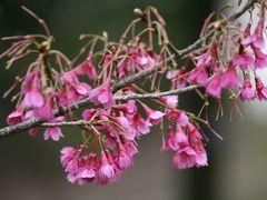 2008春、桜探訪・東山植物園(3:完):4月2日(3):十月桜、御衣黄、ウコン桜、大寒桜、小彼岸桜、江戸彼岸桜