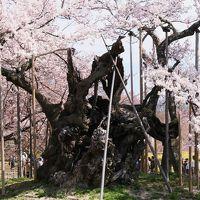 日本三大桜「山高神代桜」を南アルプスの麓に訪ねて