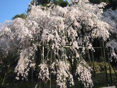 しだれ桜【1】