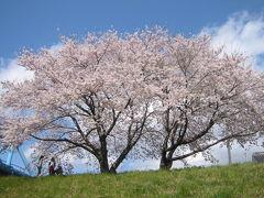 仙台・ご近所の桜は満開です。