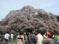 印西市散策(4)・・樹齢300年以上の吉高の大桜を訪ねます。