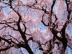日本三大桜 「山高神代桜」寺めぐり・桜めぐり。