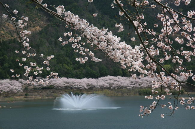 中国自動車道千代田ICから約15分、土師ダムによって堰き止められて出来た八千代湖へお花見に行きました。<br />八千代湖の周囲には、6,000本の桜が植えられ『のどごえ公園』やキャンプ場などが整備されています。<br />満開の桜を堪能した後、近くにあった『たかみや湯の森』で大仙の湯に浸かって帰宅しました。<br /><br /><br />土師ダムHP http://www.cgr.mlit.go.jp/haji/dam/index.htm<br /><br />安芸高田市HP http://www.akitakata.jp/site/page/sightseeing/news/sakura_19/<br /><br />たかみや湯の森HP http://www.yunomori.net/