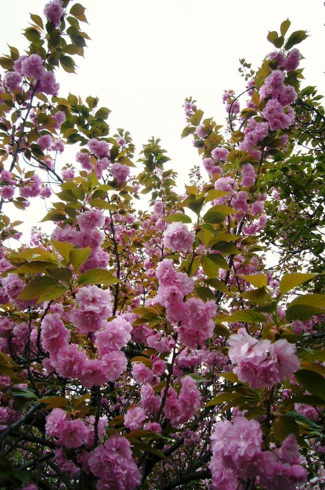 """2年ぶりに造幣局へお花見へ行ってきました。<br />前は夜桜だったので、お昼に見るのは初めてです。<br />造幣局のHPでは""""満開""""と出ていたので期待大でしたが、<br />週末の雨でどうなっていることやら・・・。"""