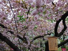 今年の大阪造幣局桜の通り抜け