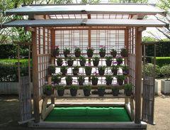 佐倉市散策(13)・・歴博くらしの植物苑に伝統の桜草を訪ねて