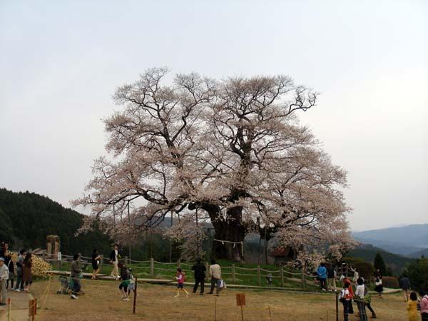 大河ドラマ武蔵のタイトルバックに使われ全国的に有名になった醍醐桜です。<br /><br />桜数奇を自認する私ですがまだ一度も逢ったことがなかったので逢いに行きました。<br /><br />岡山県一大きい桜で樹齢は推定千年の桜で品種はアズマヒガンです。