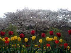 散り行く桜を惜しんで花狂いの一人旅、半田山植物園