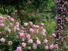 京成バラ園 早朝バラ園 いよいよバラの季節