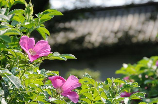 この土日はバラ三昧の週末となりました。鎌倉の台峯での自然観察会のあと横須賀線で東京駅に戻って、国立近代美術館の東山魁夷展の最終日に行くのですが、せっかく天気も良かったので、園内にバラ園もある東御苑を抜けていくことにしました。<br />皇居東御苑のバラ園は本丸跡の富士見多聞の脇にあります。面積は小さく公園の花壇といったイメージです。<br />しかしながらバラはプリンセスの象徴ですので、皇居には欠かせない存在です。オールドローズ中心で、雅子様の「おしるし」ハマナスが美しく咲いていました。<br />再開発の進む大手町地区の高層ビル群を借景に鮮やかです。