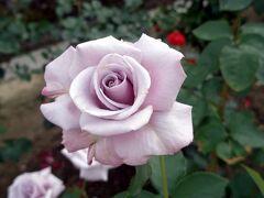 花に酔い 薔薇に恋する 今宵かな