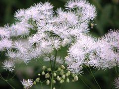 梅雨時の信州(6) 上高地の植物たち:大正池から河童橋 ~2008年7月~