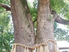 大阪市住吉大社『千年楠』と『夫婦楠』の巨木。