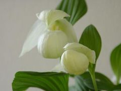 花の礼文島その2