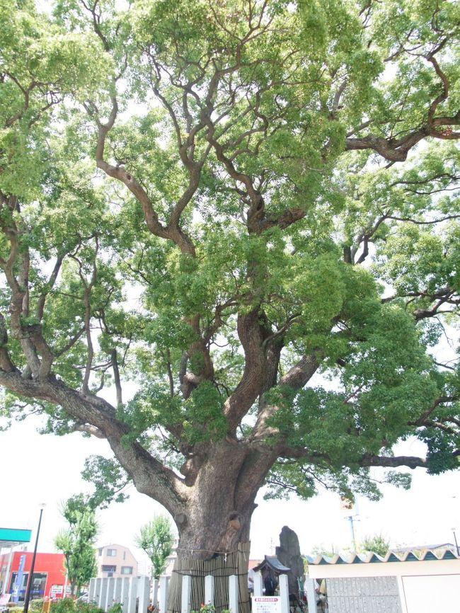 大阪と堺を結ぶ幹線道路沿いにある「金岡神社御旅所の楠」。<br /><br />幹周/6.1m、樹高/18m。<br /><br />かっては畑の中に悠然とそびえていたが、幹線道路がすぐそばを通り、今はビルと住宅に囲まれてしまった最近「楠塚公園」として整備された。 <br /><br />●金岡神社、頓宮・西之宮石碑 大阪府堺市北区長曽根町 <br />昭和47年には火災に遭い、そのため根元には大きな空洞ができていて、今もそれを覆うように木が巻かれています。2007年には「楠塚公園」として整備されました。御旅所の正式名は「金岡神社・西之宮頓宮」です。 <br />