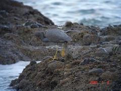 大洗海岸でバードウォッチング [2005](1) クロサギ編