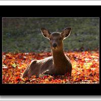 Solitary Journey [秋色特別編]日本三景安芸の宮島、モミジが一斉に色づく秋の彩りは圧巻です。<モミジ谷公園の鹿たち>広島県廿日市市
