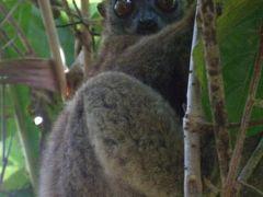 マダガスカルのキツネザル(ノシベ)