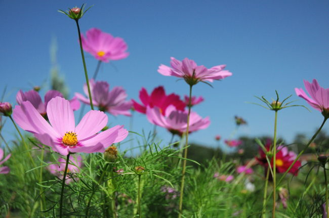 今年の10月の三連休最終日は服部緑地公園へ。昨年は11月に行き秋の花には一寸遅かった。今年は一寸早かった。しかし秋の晴天の下、さわやかな気分で秋の花を楽しむことが出来た。