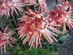 佐倉市散策(15)・・歴博くらしの植物苑に伝統の古典菊を訪ねて