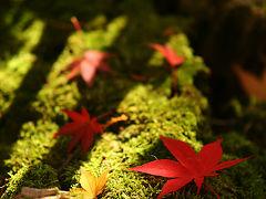 紅葉の京都を訪れる。。 西山浄土宗総本山 光明寺の紅葉。紅葉参道のもみじ、雨後に輝く /京都府長岡京市粟生