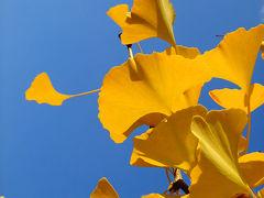 立川市 国営昭和記念公園 イチョウ並木の黄色い絨毯 (銀杏の落葉) /東京都立川市 紅葉、黄葉の立川公園