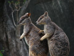 ケアンズ熱帯雨林ドライブ(2) アサートン高原で野生のカモノハシとロックワラビーを見よう編 2008年11月
