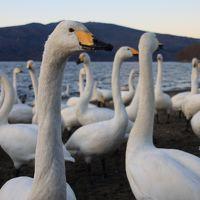 白鳥の湖 屈斜路湖