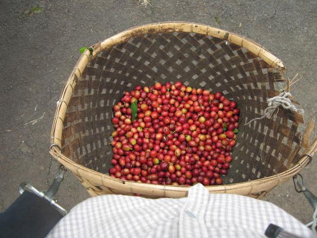 コーヒーが好きすぎてハワイ島にある個人のコーヒー農園に滞在させてもらうことになりました。<br />丁度最盛期にお邪魔したので、コーヒーの実がたくさん。<br />コーヒー豆を摘む作業は本当に大変でしたが、日に日に摘むコツを掴み毎日目標を決めてやっていると充実感とこの上ないコーヒー豆に対する愛情がわいてきます。<br />毎朝農園のお父さんが淹れてくれたフレッシュなコナコーヒーは本当に最高でした。<br />ローカルな生活と大自然を満喫、そして農業の営みの厳しさ。<br />約3ヶ月という短い間でしたが色々なことを考えさせられ<br />また大自然の中で心も洗練され<br />ハワイ島の大地のパワーをさくさんもらうことができました。<br />大変貴重な体験をさせて頂きました。<br /><br />
