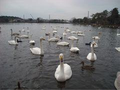大塚池へ。白鳥に会いに2009