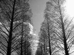 初冬のメタセコイア並木道