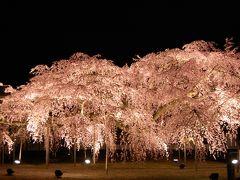 京都 醍醐寺 大枝垂れ桜(1日目) (写真追加2014年4月)