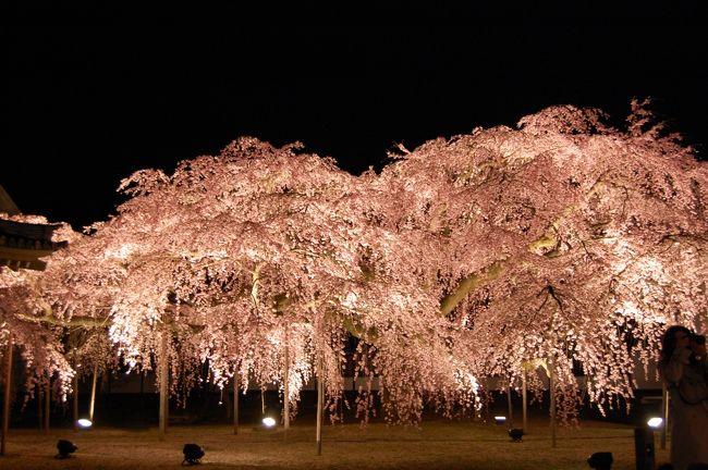 昨年に続いて樹齢180年の醍醐寺大枝垂れ桜のライトアップを見てきました。<br />一般公開されていないライトアップです。<br />今年も、ものの見事咲きこぼれていました。<br />この世のものとは思えない見事な桜です。<br /><br />(写真を15枚追加しました)<br /><br />醍醐寺 豊太閤花見行列 は、こちらです。<br />http://4travel.jp/travelogue/10450639
