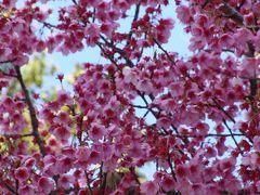 土肥温泉の花見・・・土肥神社の伊豆土肥桜