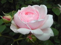 バラを愛でる
