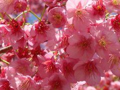 土肥温泉の花見・・・丸山スポーツ公園の伊豆土肥桜