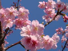 土肥温泉の花見・・・松原公園の土肥桜