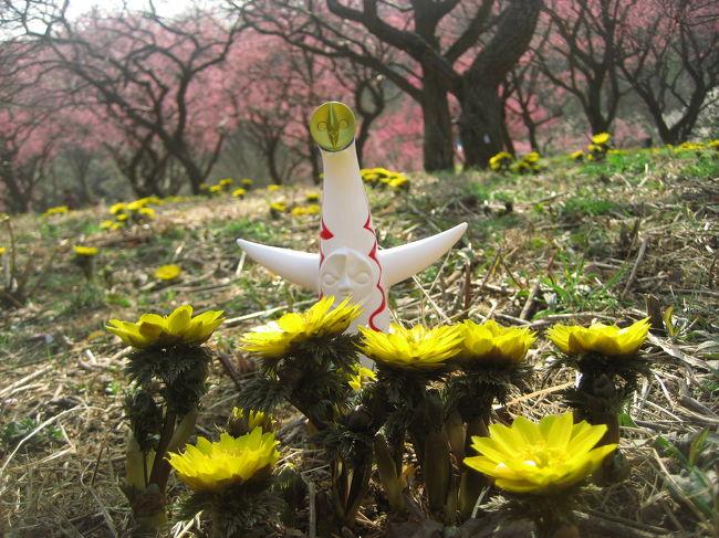 福寿草は、咲きたての可愛い姿が見たかったのに。<br />前日に公式サイトの開花状況をチェックして、しまった!と思いました。<br />福寿草が、今週末から来週末が見頃です、とあるのは、私の好みより育ちすぎているにちがいありません。<br /><br />案の定、思ったより背が高くなっていた福寿草は、モコモコの葉を毛皮のようにまとったマダム然としていました。<br />去年の今頃(2008年2月17日)はまだ咲き始めの可愛い頭を地面からやっと覗かせていた状態だったにのっ!<br /><br />と思ったら、去年の旅行記をひっくり返してみたら、確かに若干背が低い花が多かったものの、すでにマダムはいましたね。<br />それに今回、頭上の梅は思ったより咲き進んでいたので、そのコラボが楽しめました。<br />いつものお供の太陽の塔ことたっくんとの撮影も、このくらい高さがある方がやりやすかったです。<br /><br />国営武蔵丘陵森林公園公式サイト<br />http://www.shinrin-koen.go.jp/<br /><br />2008年のたっくんと福寿草の写真(2008年2月17日)<br />「梅と福寿草まつりの森林公園(1)たっくんと福寿草」<br />http://4travel.jp/traveler/traveler-mami/album/10219776/<br /><br />2007年のたっくんと福寿草の写真(2007年2月11日)<br />「武蔵丘陵 森林公園その1:福寿草は、お友達と一緒に@」<br />http://4travel.jp/traveler/traveler-mami/album/10125121/<br /><br />2007年の福寿草品種展示の写真(2007年2月11日)<br />「武蔵丘陵 森林公園その2:これもみんな、福寿草@」<br />http://4travel.jp/traveler/traveler-mami/album/10125170/<br /><br />※梅と福寿草を求めて今年(2009年)はじめての森林公園散策の写真は、次の3つの旅行記に分けました。<br /><br />■(1)たっくんとマダム・フクジュソウ<br />□(2)5分咲きでも溜め息が漏れた梅林<br />□(3)さまざまな早春の花