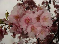 遅かった河津桜を見てきました