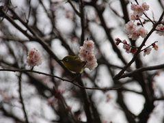 梅にメジロに水たまり at 小金井公園