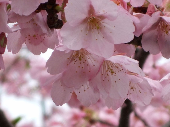 MTBで出掛けたついでに潤井川の河津桜を撮ってきました。<br />花びらが散り始めていて桜吹雪。<br />桜には悪いけれど、その中を走って気持ちよかったです。