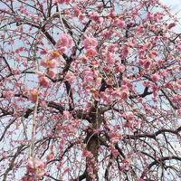 たおやかに、梅の花