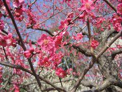 梅の花見  2009