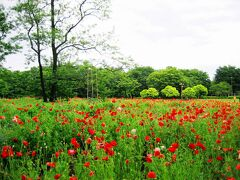 Japan  小平グリーンロード 小金井公園のポピー ~ミツバチばあやの冒険~
