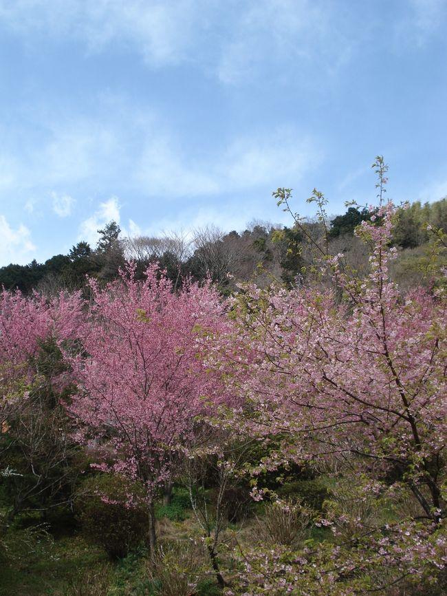 根府川ってどこ?<br /><br />突然おかめ桜が見たいと言い出した母がどこで聞きつけた<br /><br />のかそこの桜が見頃らしい。調べてみると東京方面から<br /><br />小田原の先2つ目。うちからそれほど遠くはない。<br /><br />しかしここで大きな問題 【根府川駅下車 徒歩25分】<br /><br />自然が見たいというわりに歩くのが嫌いな母が25分も<br /><br />歩く訳がない。私自身そこまでして見に行く価値があるのか?<br /><br />とイマイチ気乗りがせず「止めよう」と当然のごとく返事<br /><br />が返ってくると思っていたが…<br /><br /><br /><br />