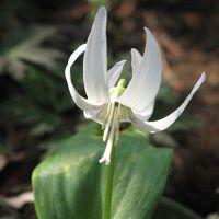 城山・カタクリの里訪問(1)カタクリの花と山野草を愛でる・・カタクリ、菊咲イチゲ、黄花セツブンソウ、アズマイチゲ、ニリンソウ