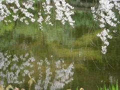 御苑の枝垂桜はもう満開