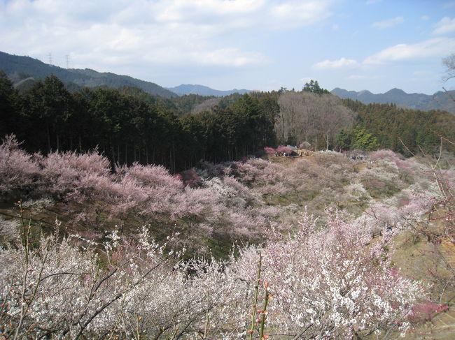 ☆青梅 吉野梅郷 日本一の梅園 梅の公園 ピークは難しい!☆