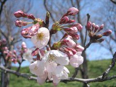 幸手 権現堂桜堤の桜はどのくらい咲き??