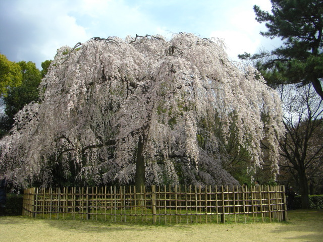 これは、円山公園の桜に匹敵する特別な桜です。すばらしい、京都を代表する枝垂桜です。